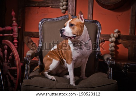 American Staffordshire Terrier in the interior