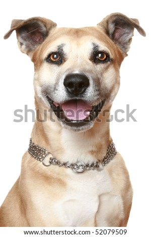 American Staffordshire terrier. Isolated on a white background - stock photo
