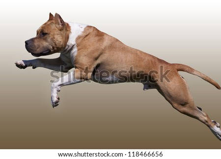 American Staffordshire Terrier jumping - stock photo