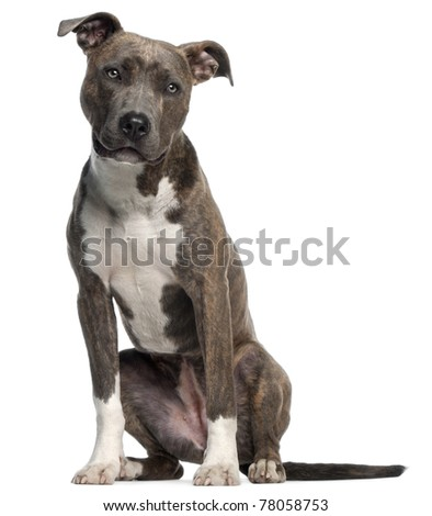 American Staffordshire Terrier, 8 months old, sitting in front of white background
