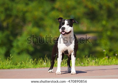 American Staffordshire Terrier outdoor