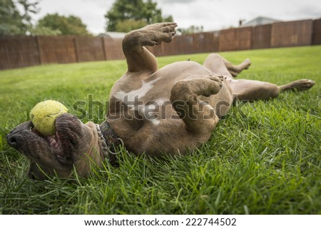 American Staffordshire Terrier Playing