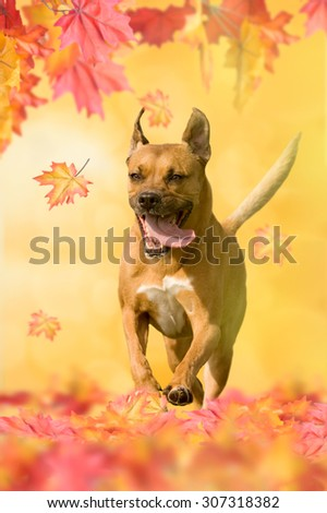 American Staffordshire Terrier playing in autumn with leaves - stock photo