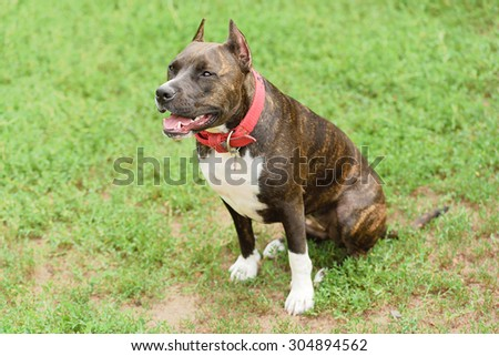 American staffordshire terrier portrait in green