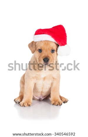 American staffordshire terrier puppy dressed in a christmas hat - stock photo