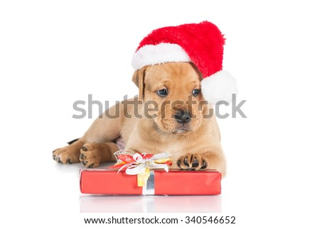American staffordshire terrier puppy dressed in a christmas hat and with a gift - stock photo