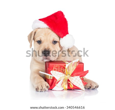 American staffordshire terrier puppy dressed in a christmas hat lying with a present - stock photo