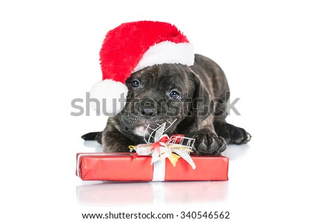 American staffordshire terrier puppy dressed in a christmas hat playing with a present - stock photo