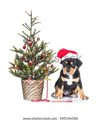 American staffordshire terrier puppy dressed in a christmas hat sitting under a christmas tree - stock photo