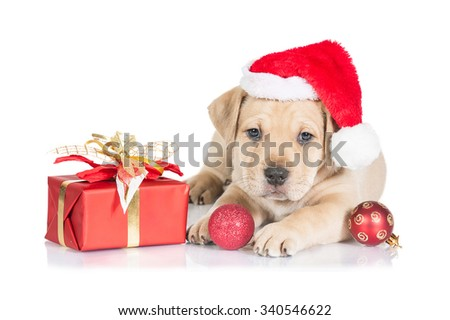 American staffordshire terrier puppy dressed in a christmas hat with a present and christmas balls - stock photo