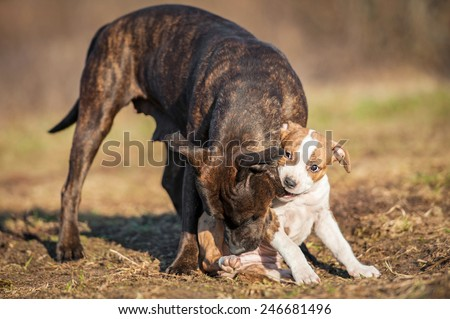 American staffordshire terrier puppy playing with adult dog - stock photo