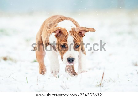 American staffordshire terrier puppy playing with snowball - stock photo