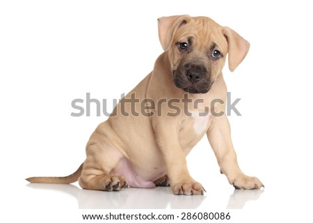 American Staffordshire terrier puppy sits on a white background