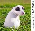 American Staffordshire terrier puppy sitting on grass - stock photo