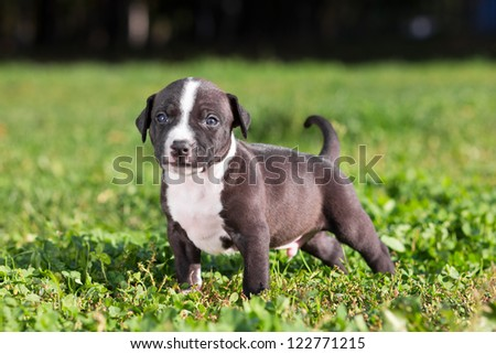 American Staffordshire terrier puppy standing on grass
