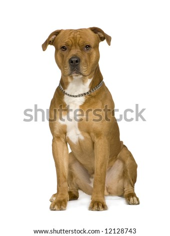 American Staffordshire terrier (2 years) in front of a white background - stock photo