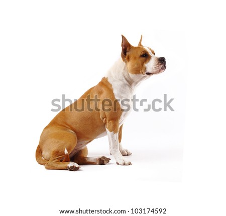 American Staffordshire terrier (4 years) of white background