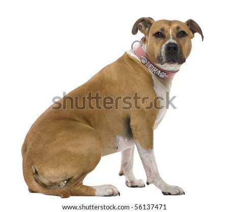 American Staffordshire terrier, 3 years old, sitting in front of white background - stock photo