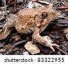 American Toad, Anaxyrus (Bufo) americanus - stock photo