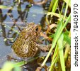 American Toad (Bufo americanus) on a warm summer day in the Midwest United States - stock photo