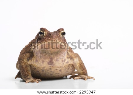 American toad front view. - stock photo
