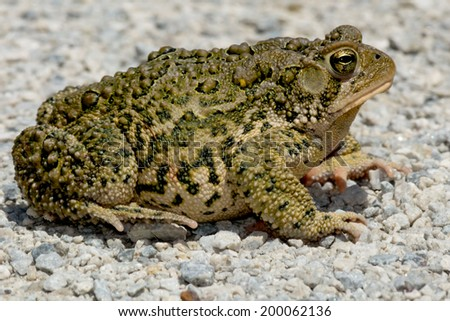 American Toad on a gravel path basking in the sun. - stock photo