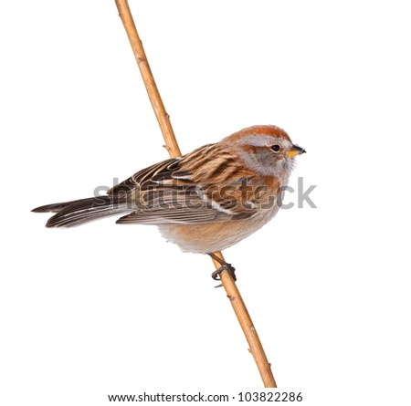 American Tree sparrow. Latin name - Spizella arborea. Isolated on white. - stock photo
