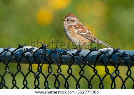 American Tree Sparrow perched on a chain link fence.