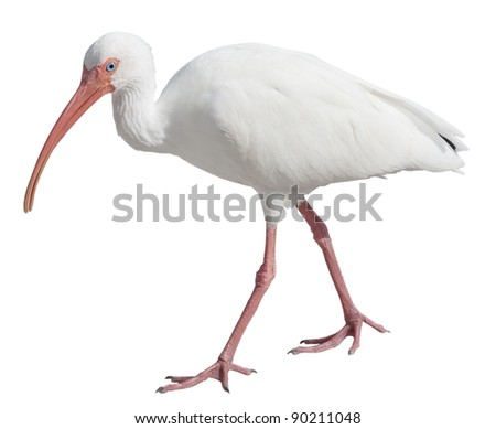 American White Ibis (Eudocimus albus)  with clipping path - stock photo