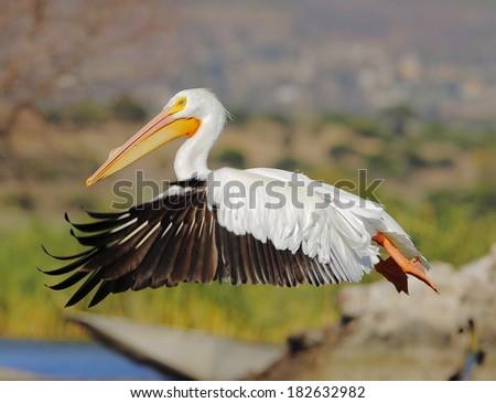 American White Pelican - stock photo