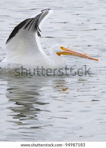 American White Pelican landing - stock photo
