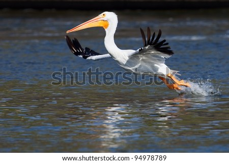 American White Pelican lifting off - stock photo