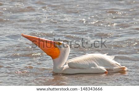 American white pelican on lake, with its big orange beak extended - stock photo