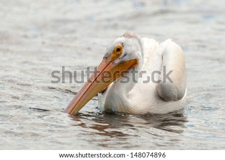 American white pelican on lake with its big orange beak in the water - stock photo