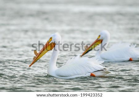 American White Pelicans floating down the river - stock photo