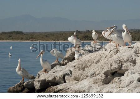American white pelicans resting, the Salton sea - stock photo