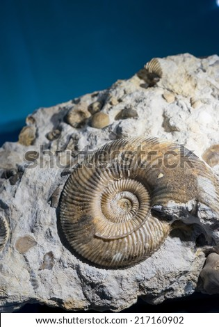 ammonite fossil embedded in stone, real ancient petrified shell  - stock photo