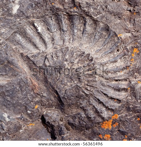 Ammonite fossil in dark rock surface. - stock photo