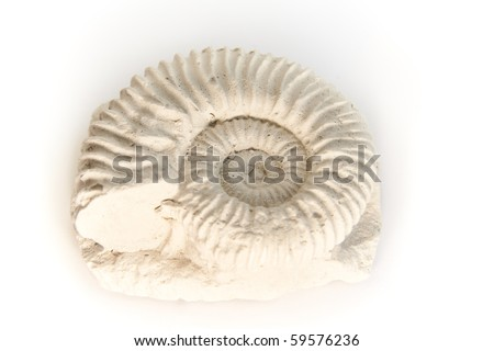 ammonite - parawedekindia, fossil from Jurassic or Cretaceous