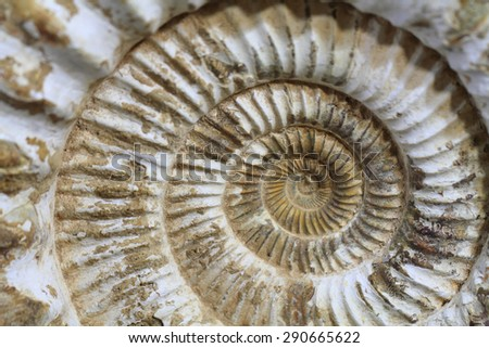 ammonites fossil as nice natural geology background - stock photo