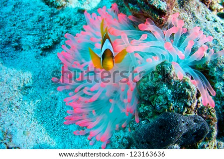 Amphiprion bicinctus of Red Sea...