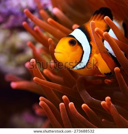 Amphiprion ocellaris clownfish in marine aquarium - stock photo
