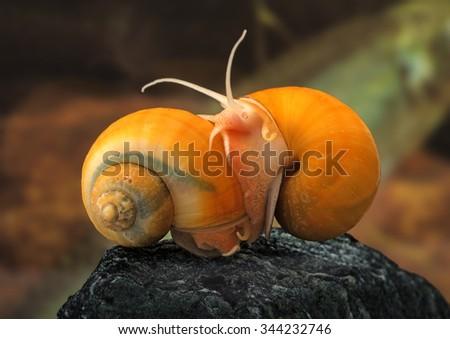 Ampullaria australis -  ampulyarii  snail in aquarium - stock photo
