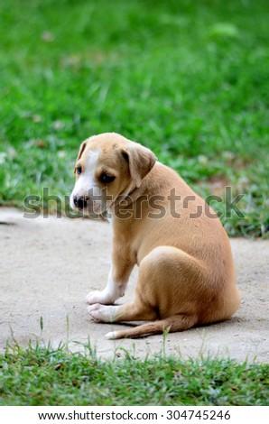 Amstaff puppy - stock photo