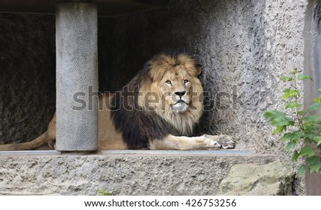 Amsterdam, Holland - May 2015: A lion in a zoo - stock photo