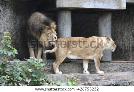 Amsterdam, Holland - May 2015: A lioness and a lion in a zoo - stock photo