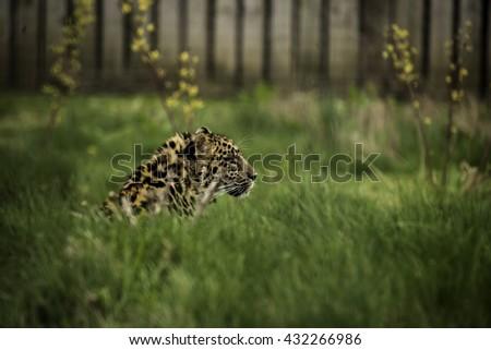Amur Leopard - stock photo