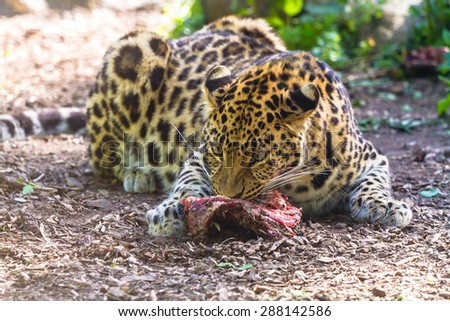 Amur leopard eating meat - stock photo