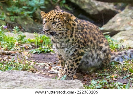 Amur leopard hunting - stock photo