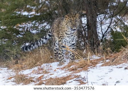 Amur Leopard in a snowy Forest hunting for prey. - stock photo